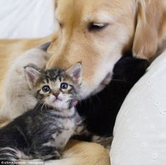 a dog taking care of a cat