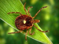 Red meat allergies likely result of lone star tick -- ScienceDaily
