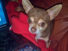 Max - 5yr old male Chihuahua, rescued from Chicago Animal Control. He suffers from a neurological condition due to abuse in his previous home. He is a sweet boy, loves to snuggle and just wants a lap to sleep in and a bowl always full of food.
