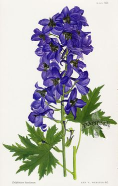 Delphinium huetianum CTL566 $35 – William Curtis Botanical Prints from Curtis Botanical Magazine 1948 and After