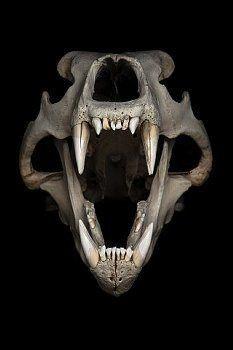 Skulls and Bones Animal Skeletons, Animal Skulls, Animal Skull Drawing, Skull Drawings, Urso Bear, Skull Reference, Pose Reference, Bear Skull, Animal Bones