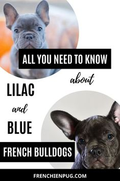 All you need to know about Lilac and Blue French bulldogs Lilac French Bulldog, French Bulldog Quotes, French Bulldog Puppies, French Bulldogs, Cute Dog Memes, Cute Funny Dogs, Cute Cats And Dogs, I Love Dogs, Really Cute Puppies