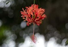 Japanese lantern, Hibiscus schizopetalus, found in the Rainforest Biome at the Eden Project