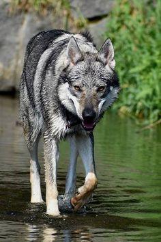 Czechoslovakian wolf dog!!! A dog that I definitely want. Milujem to!