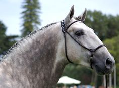 lusitano stallion - I wants!