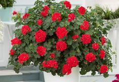 Pelargonium peltatum Toscana Wisteria, Valentines, Interior, Home Decor, Design, Gardens, Geraniums, Flowers, Plant
