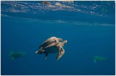 Sea Turtles mating.  My favorite animal and so rare!  Would love to see on.