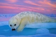 Photo by @BrianSkerry.  A harp seal pup rests on the ice at sunset in Canada's Gulf of St. Lawrence,...