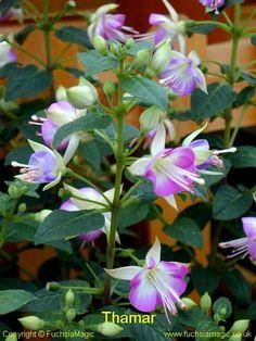 Fuchsia Thamar