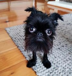 Squid the griffon