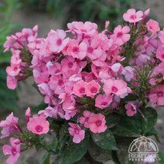 Phlox paniculata Pink FLAME™