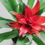 Γκουσμάνια, ένα τροπικό φυτό εσωτερικού χώρου Flowers, Plants, Gardening, Feels, Lawn And Garden, Plant, Royal Icing Flowers, Flower, Florals