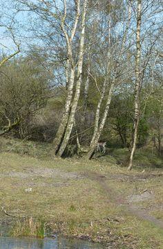 Amsterdamse waterleidingduinen 2015-04-24 Arno Ooms. De berk, met zijn witte bast, is een veelvoorkomende boom in dit gebied.