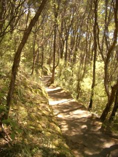New Zealand, young forest path
