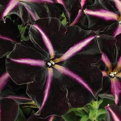 Another black petunia