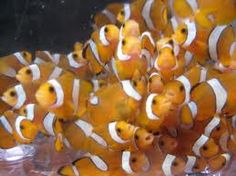 clownfish - Google Search