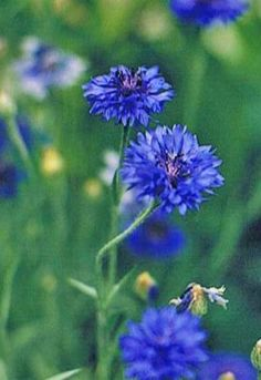 Cornflowers Seed Saving Instructions:  Allow flowers to mature and fade on the plant. Seed pods develop at the base of the flower and turn light tan to brown when mature. Remove the pod and allow it to dry for a few days. With your thumb rub open the end the pod, loosened seeds should release freely. Sow outdoors shortly after frost! Actually, cornflowers are self seeders, but...collect the seeds if you want them somewhere else in your garden!