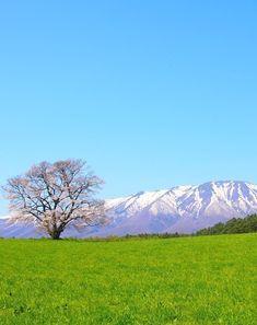 Koiwai Farm's Lonesome Sakura, Iwate, Japan, Cherry Blossoms