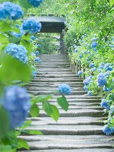 明月院の紫陽花 Meigetsuin, Kamakura, Japan #Hydrangea