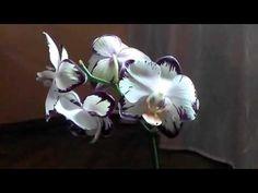 Семена орхидей. Выращивание Орхидей Фаленопсис из своих семян дома. Часть 1 - YouTube