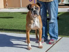 A1737885 - Charley is a male, brown/white Boxer mix. He's mature enough to know about life and how to be a good friend. Charley is a 8-year-old love bug, who is waiting for a really sweet, caring person or family to take him home and love him. He gets great pleasure taking daily walks and getting the exercise he needs to stay healthy. He is available at the Eastside shelter. www.cabq.gov/pets  (Boxer Baby)