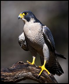Common Name: Peregrine Falcon, Duck Hawk // Scientific Name: Falco peregrinus Pretty Birds, Love Birds, Beautiful Birds, Animals Beautiful, Exotic Birds, Colorful Birds, Aigle Animal, Animals And Pets, Cute Animals