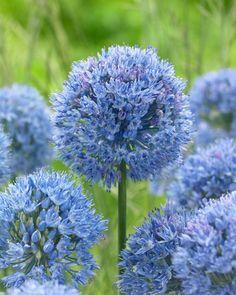 Allium Caeruleum, Allium Azureum, Allium Caeruleum Azureum, Allium Coerulescens, Azure-Flowered Garlic, Blue-Flowered Garlic, Flowering Onion, Ornamental Onion, Spring Bulbs, Spring Flowers
