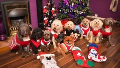 Most parents splash out on their children at Christmas, and Emmie Stevens is no different, lavishing gifts, treats and new outfits on her twelve dogs. The self-confessed 'mad-dog lady' will spend Christmas day opening 12 stockings stuffed full of gifts for her 'fur-babies'. The coddled canines will even sit down to a specially prepared doggy-friendly Christmas dinner, including turkey and all the trimmings. In total, Emmie, 26, plans to spend £1,000 on a Christmas like no other for her furry…