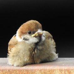 Small Birds, Little Birds, Piper Bird, Animals And Pets, Cute Animals, Sparrow Bird, Tier Fotos, Beautiful Birds, Cool Photos