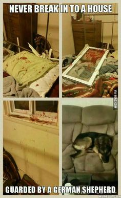 Never break into a house guarded by a German Shepherd!