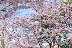 サクラと新緑と春の霞空
