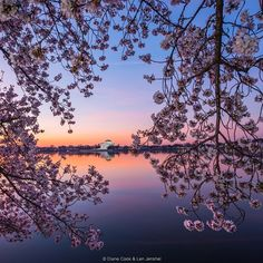 @NatGeo photo by @cookjenshel Dawn Cherry blossoms & Thomas Jefferson Memorial Tidal Basin Washington DC.  We have Eliza Scidmore (first woman board member of the National Geographic Society) to thank for initiating a plan for planting the thousands of beautiful cherry trees we see around the Tidal Basin.  It took many years before she and David Fairchild found a White House receptive to accepting a gift of the cherry trees from the City of Tokyo in 1912. Its worth taking the time to…