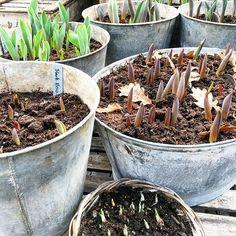 Städar växthuset och blir glad av det här. --- Cleaning the greenhouse and gets happy seeing this. #charlottegardenflow #mygreenhouse