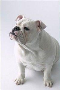 White English Bulldog | ... Time Choosing Bulldogs? White English Bulldog Might be the One for You