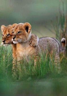 Aww such cute lion cubs ツ