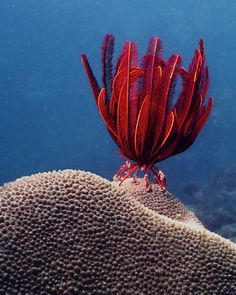 """jwstudio:        Red Feather Star (by clownfish33)        """"This red beauty is a Crinoid. Known as sea lilies or feather-s"""