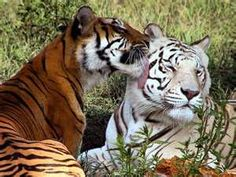 Image Search Results for tigers