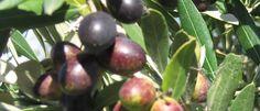 International Recognition For Hawke's Bay Olive Oil Olive Oil, Fruit, Vegetables, Food, Veggie Food, Vegetable Recipes, Meals, Veggies