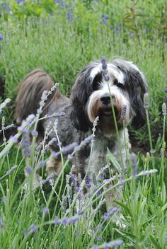 """{""""Mocha (my Tibetan Terrier) rombing thru lavender"""" Loi Thai.}  Perhaps one of these... """"Highly intelligent and somewhat mischievous, the Tibetan Terrier loves his family, and his sensitivity to the moods of his owners makes him an excellent companion (although he may be reserved around strangers).""""  AKC"""