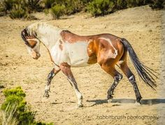 wild horse, wild markings