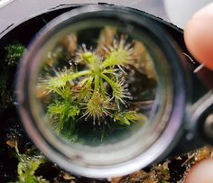 Poor man's macro lense I dont know for sure what species of sundew this is and it is slowly chipping away at my sanity.  #carnivoroustagram #sundew #drosera #seedling #macroplant by kweenanthropocene