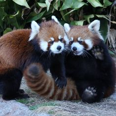 Tagged with Red Panda Monday; Red Panda Cute, Little Panda, Saint Yves, Baby Animals, Cute Animals, Baby Pandas, Hamsters As Pets, Paws And Claws, Wild Dogs