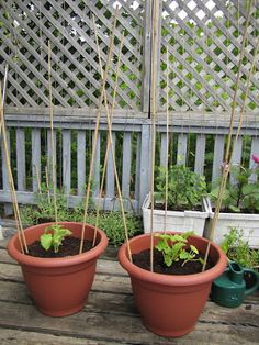 How To Grow Great Green Beans In Containers Growing 400 x 300