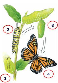 metamorfosis dela maripósa animada - Buscar con Google Cactus Plants, Insects, Animals, Google, Butterfly Metamorphosis, Butterflies, Butterfly Project, Preschool Learning, 1st Grades