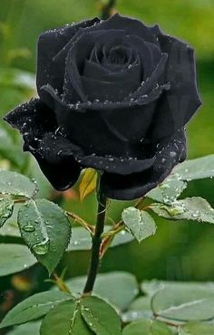 Black Rose Flower Meaning Flowers black Flowers Beautiful Flowers Photos, Unusual Flowers, Rare Flowers, Flower Photos, Amazing Flowers, Beautiful Roses, Pretty Flowers, Rose Pictures, Rose Photos