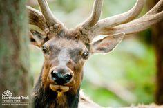 #Elk peeking behind tree