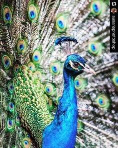 #Repost @susansphotoshop with @repostapp.  Peacocks have been resident on #Rottnest #Island for a long time and strut around the village and often show off their magnificent feathers.  Available on greeting cards postcards and prints susansphotoshop.com #peacock #rottnestisland #susansphotoshop #bird #colour #colours #animal #animals #amazing #beautiful #beautiful #world #nature #voyage #explore #places #green #blue #black #photographer #photography #loversphotos #everythingfromtheworld…