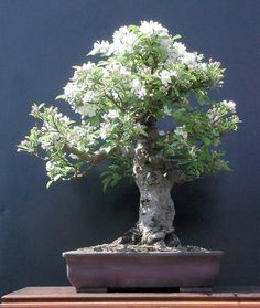 White Azalea Bonsai. I love bonsai trees. Please check out my website thanks. www.photopix.co.nz