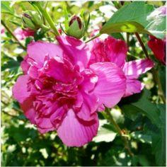 Nouvelle variété d'Hibiscus double Arbuste rustique à fleurs doubles rouges, l'Hibiscus 'Summer Festival' ® se pare de grandes fleurs pendant les mois de juillet et août. Son feuillage vert et caduc tranche bien sur la couleur de floraison. Sa rusticité est de -15°C et vous pouvez le tailler, même sévèrement, à la sortie de l'hiver (février). Son port buissonnant peut atteindre 1.5m de haut pour 1m de large. L'Hibiscus 'Summer Festival' ® produit des fruits ...
