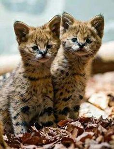 Wallpaper the serval kittens, cats, calves, kids, worksheets The Animals, Cute Baby Animals, Funny Animals, Beautiful Cats, Animals Beautiful, Beautiful Babies, Serval Kitten, Gato Grande, Ocelot